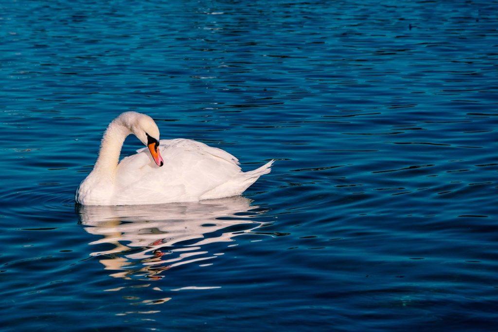 swan, animal, pride